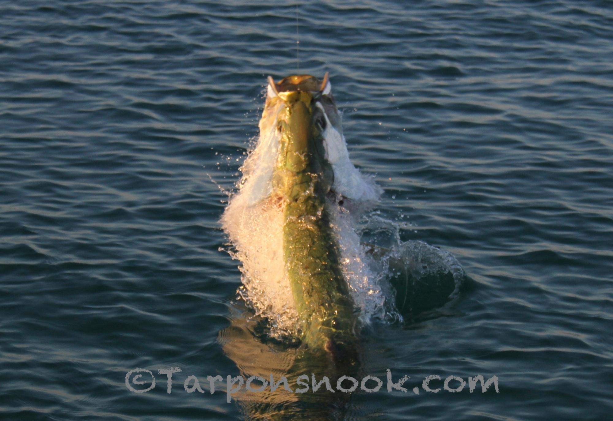 Tarpon 0881 for Boca grande tarpon fishing