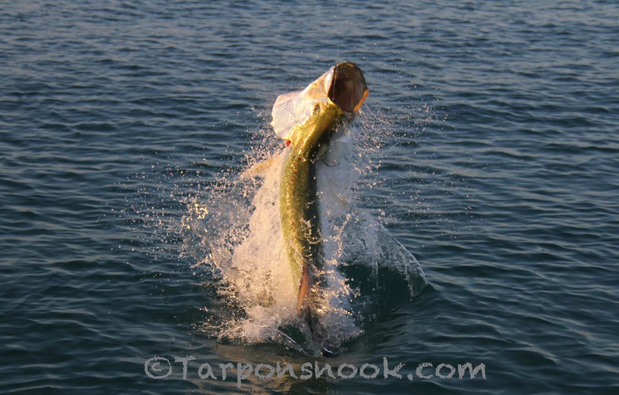 Tarpon 0882 for Florida tarpon fishing