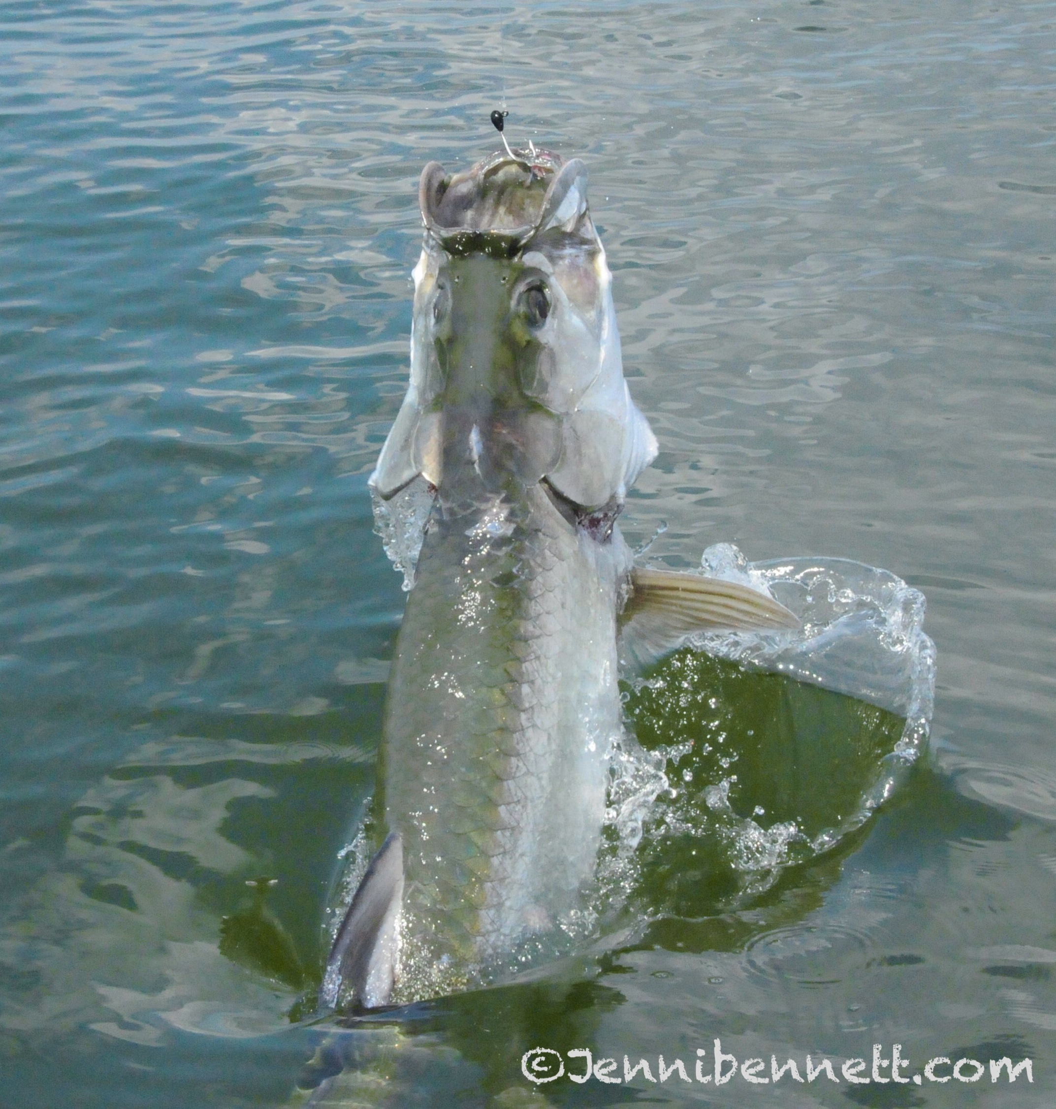 Florida fishing seasons for Florida tarpon fishing